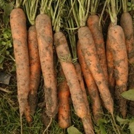Fidra F1 - 25000 sem - Seminte de morcovi tip Nantes (calibru seminte 1.8 - 2.0) ce formeaza radacini mari , rezistent la emiterea tijei florale si un potential de productie ridicat de la Rijk Zwaan