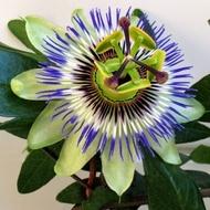 Floarea Pasiunii (Passiflora) 20 seminte - planta vivace culori atractive, Florian