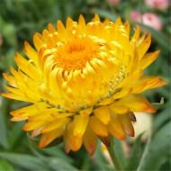 Flori de pai galbene (0.4 grame), seminte de flori pentru uscare, Agrosem