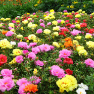 Flori de Piatra dublu mix (0,6 g), flori de piatra Portulaca grandiflora dublu mix, Agrosel