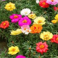 Flori de Piatra simplu mix (5000 seminte) de flori de piatra Portulaca grandiflora simplu mix, Kertimag