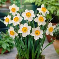 Flower Record (5 bulbi), narcise albe, mijloc galben-portocaliu, bulbi de flori