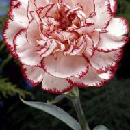 Garoafa rosu cu alb (0.2 grame), flori frumos colorate, Agrosem