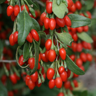 Goji Berry (0,15grame) Seminte de Goji Berry Arbust Peren Rezistent la Seceta