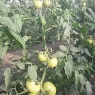 Gramada F1 (0.5 gr) seminte tomate hibrid nou bulgaresc nedeterminat semitimpuriu