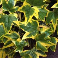 Hedera helix Goldchild (ghiveci 2 L), iedera decorativa, frunze verzi cu margini late galbene