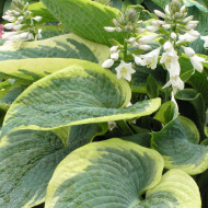 Hosta American Halo (ghiveci 1,5 L), planta decorativa cu frunze mari, culoare verde-albastrui intens, margini crem