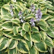 Hosta Brim Cup (ghiveci 1,5 L), planta decorativa cu frunze culoare verde inchis si striatii de alb-cremos
