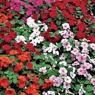 Impatiens Mix (Sporul casei) - Seminte Flori Impatiens de la Florian