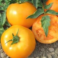 ISI 36629 F1 - 100 sem - Seminte de rosii portocalii cu crestere determinata ce se coloreaza intr-o nunanta deosebita si se remarca prin productivitate si rezistenta la boli de la Isi Sementi