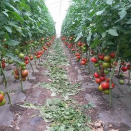 Jastis F1 (50 seminte), seminte rosii crestere nedeterminata, Hazera