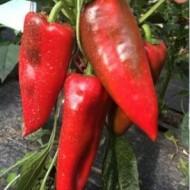 Kadet F1 - 250 sem - Seminte de ardei kapia cu fructe mari de culoare verde la cules iar la coacere rosu aprins ce se preteaza atat culturilor infiintate in spatii protejate cat si celor in camp deschis de la Duna-R