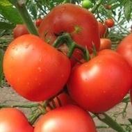 Kartier F1 - 250 sem - Seminte de rosii nedeterminate cu fructe rotunde  usor aplatizate de calitate ridicata de la Clause