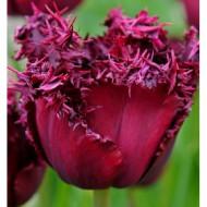 Labrador (8 bulbi), lalele grena cu negru, bulbi de flori