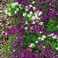 Lobelia curgatoare mix (0.08 g), planta curgatoare superba cu flori in culori diferite, Horti Tops