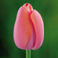 Menton (5 bulbi), lalele roz coral, bulbi de flori