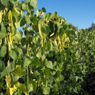 Meraviglia di Venezia (10 gr) seminte de fasole urcatoare galbena lata, soi timpuriu, productiv, Agrosem