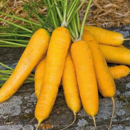 Morcovi galbeni Jaune de Doubs (2700 seminte) soi vechi francez de morcovi cu radacini galbene, Florian