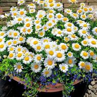Musetel Medicinal (0,5 g), seminte de musetel medicinal cu flori foarte parfumate, Agrosem