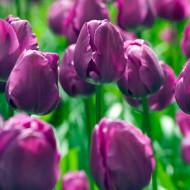 Negrita (8 bulbi), lalele violet cu dungi purpurii, bulbi de flori