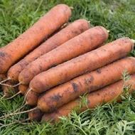 Nominator F1 - 25.000 sem - Seminte de morcovi orange (calibru seminte > 2 mm ) tip nantes ce produce radacini atractive cilindrice de la Bejo