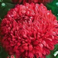 Ochiul boului Paeonia rosu (0,4g), seminte de ochiul boului cu flori rosii, mari si frumoase, Agrosem
