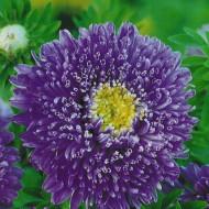 Ochiul boului Princess mov (0,4g), seminte de ochiul boului cu flori mari, deosebit de frumoase, mov, Agrosem
