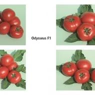 Odisey F1 - 0.5 gr - Seminte de Rosii Bulgaresti Hibrid Semitimpuriu Semideterminat