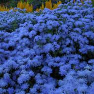 Pufuleti albastri (0,2 g), seminte de planta anuala cu flori albastre, foarte decorative, Agrosem