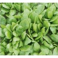Rembour F1 - 50.000 sem - Seminte de spanac cu o perioada de vegetatie de 47 zile excelent pentru temperaturi inalte de vara de la Bejo