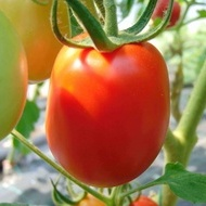 ROMEC - 0.5 gr - Seminte Tomate Oval Alungite Romanesti ROMEC 554 J