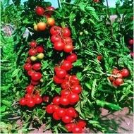 Rosii Tourist – 1000 seminte de rosii hibrid nedeterminat timpuriu Bejo