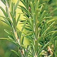 Rozmarin - 0.1 gr - Seminte de Rozmarin Plante Medicinale Rozmarin de la Opal