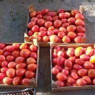 Rugby F1 – 1000 sem – Seminte de tomate nedeterminate Rugby pentru sere de la Geosem Bulgaria