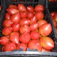 Rugby F1 – 50 sem – Seminte de tomate nedeterminate Rugby F1 pentru sere de la Geosem