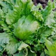Salata Great Lakes (1 kg), seminte de salata iceberg capatana mare, crocanta, Agrosem