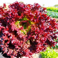 Salata Lollo Rossa (1200 seminte), salata creata rosie soi timpuriu, Agrosem