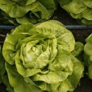 Sandalina - 1000 sem - Seminte drajate de salata  ce se preteaza in special cultivarii in camp deschis si produce o capatana mare fara sa emita tija florala de culoare verde deschis de la Rijk Zwaan