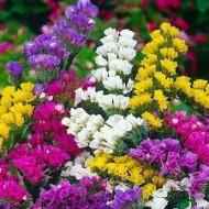 Saraturica Mix (0,15 g), seminte flori de saraturica, mix de culori, Agrosem