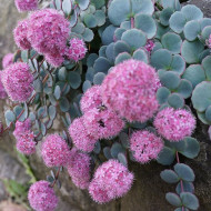 Sedum sieboldii Bright Pink (ghiveci 1 L), planta suculenta vesnic verde, frunze verzi, flori stelate roz, iarba grasa