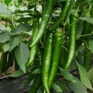 Seminte ardei iute Koyot (100 seminte), ascutit, Capsico