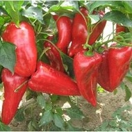 Seminte ardei kapia Ivaylovska (50 gr), fructe mari, soi semitimpuriu bulgaresc, Florian