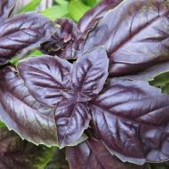 Seminte Busuioc ROSU Dark (1 gr), Seminte de Busuioc Rosu Violet Mov, Agrosem