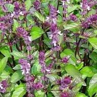 Seminte busuioc scortisoara (0.5 gr), Seminte Plante Medicinale Busuioc Scortisoara, Florian