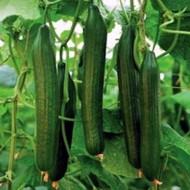 Seminte castraveti Ceres F1 (500 seminte), productii mari, De Ruiter Seeds