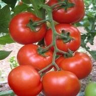 Seminte rosii Buzau 1600 (5 gr), soi nedeterminat, SCDL Buzau