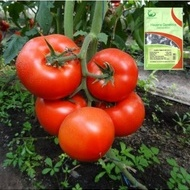 Seminte rosii Macsin F1 (500 seminte), crestere nedeterminata, Hazera Genetics