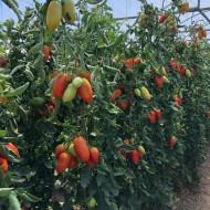 Seminte rosii Mirely F1 (250 seminte), nedeterminate, Clause