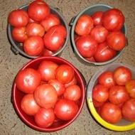 Seminte tomate Roz de Haskovo (Haskovski), 0.5 gr, soi roze nedeterminat fructe mari, gust excelent
