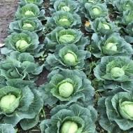 Seminte varza AS 1601 F1 (2500 seminte), varza alba, Hektar